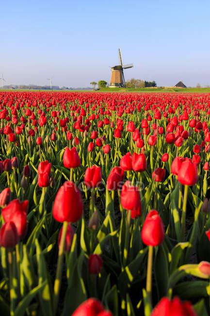 Поля из красных тюльпанов — стоковое фото