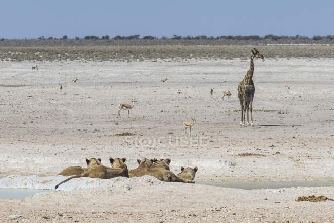 Leoni, Panthera leo al waterhole — Foto stock