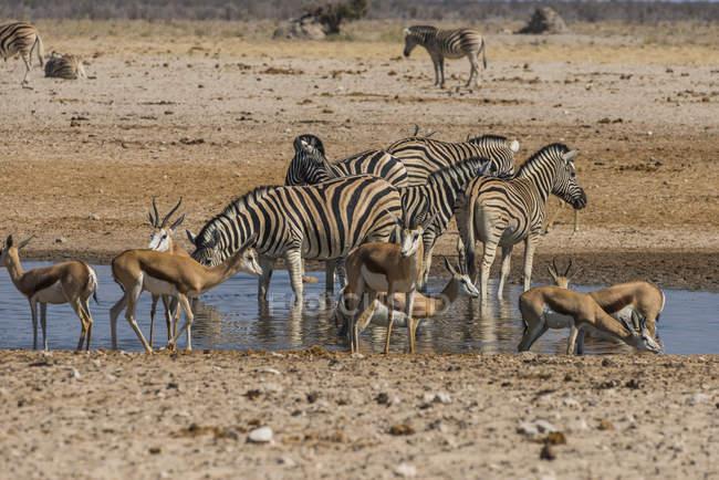 Animali affollamento intorno a una pozza d'acqua — Foto stock