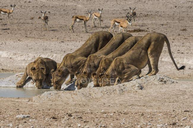 Лев на waterhole — стокове фото