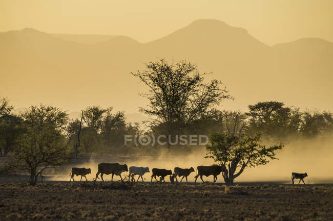 Bestiame sulla strada di casa al tramonto — Foto stock