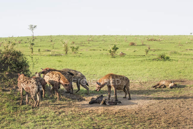 Spotted Hyenas, Crocuta crocuta — Foto stock