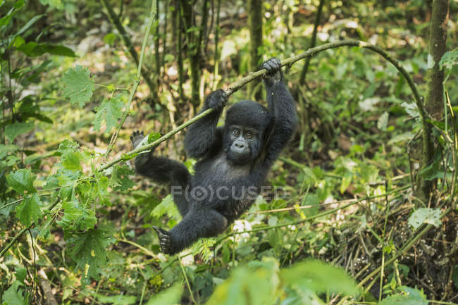 Mountain Gorilla, Beringei beringei — Stock Photo