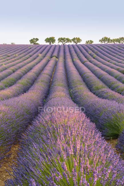 Lavender rows, Plateau de Valensole — стоковое фото