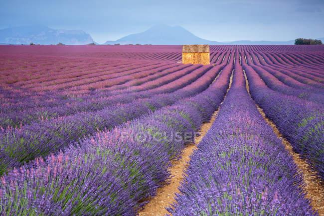 Дом в сиреневом поле на закате — стоковое фото