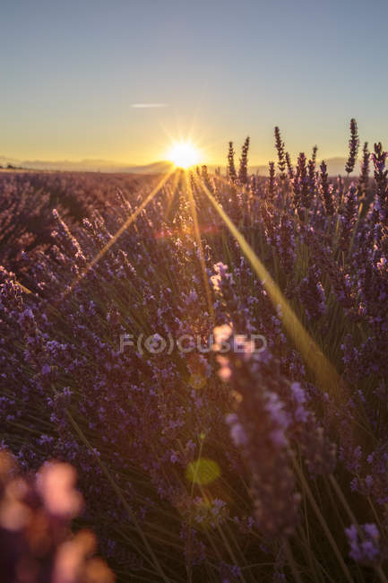 Восход солнца над полями лаванды — стоковое фото