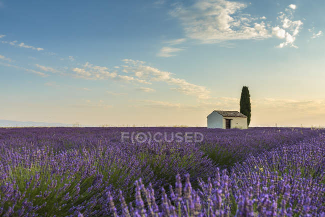 House with tree in a lavender crop — Stock Photo