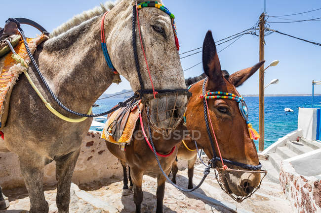 Donkeys and mules take tourists — Stock Photo