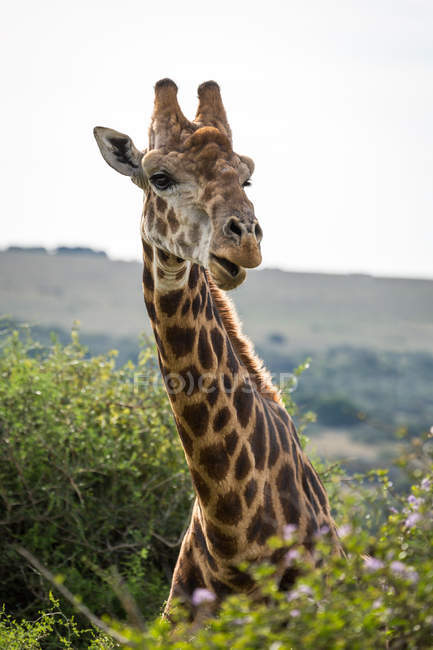Giraffe in Amakhala Game Reserve — Stockfoto