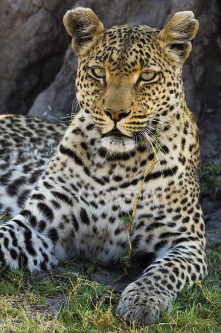 Leopardo, panthera pardus - foto de stock