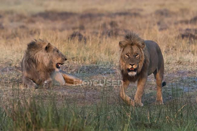 Двох левів, Лев — стокове фото
