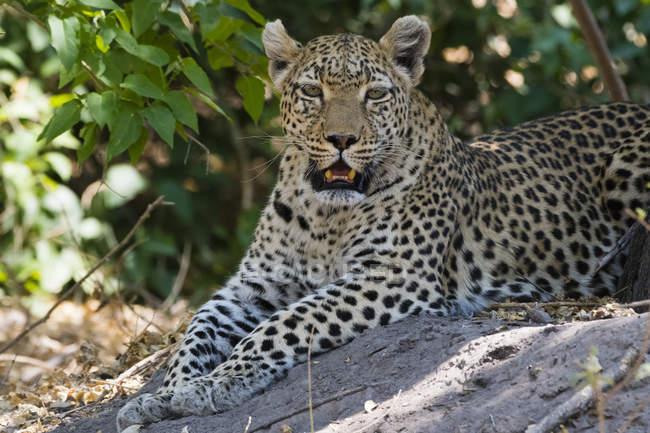Leopardo descansando en la sombra - foto de stock