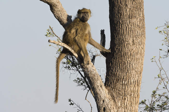 Chacma Бабуїн на дереві — стокове фото