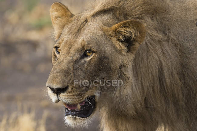Lion mâle, Panthera leo — Photo de stock