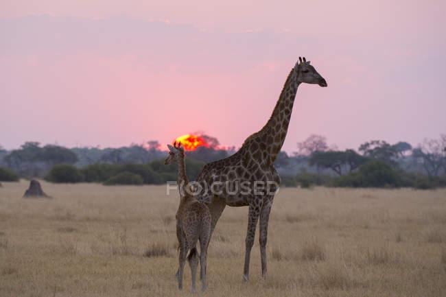 Giraffa con il suo bambino al tramonto — Foto stock