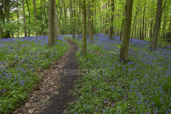 Bluebells in ancient woodland — Stock Photo