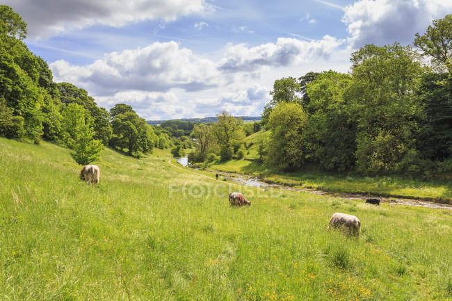 Cows grazing in lush riverside — Stock Photo