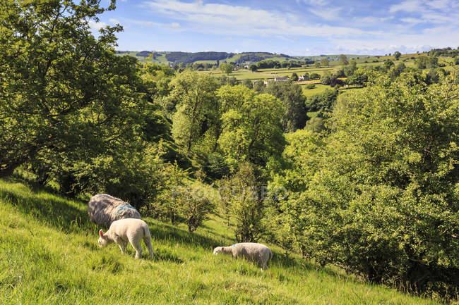 Schafe und Lämmer über Lathkill Dale — Stockfoto
