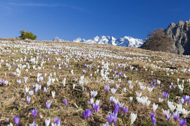 Colorful crocus in meadows — Stock Photo