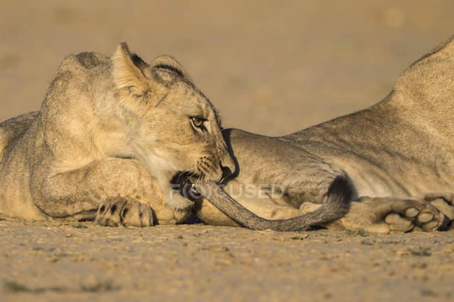 Young lions, Panthera leo playing — Stock Photo