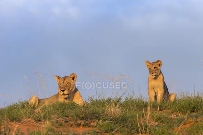 Lioness, Panthera leo with cub — Stock Photo