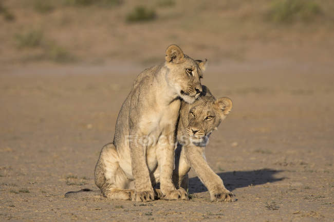 Young lions, Panthera leo — Stock Photo