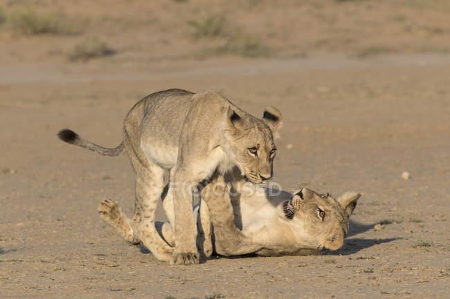 Jungen Löwen, Panthera Leo spielen — Stockfoto