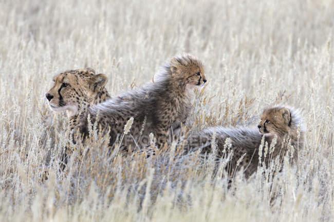 Гепард, Acinonyx jubatus з ведмежатами — стокове фото