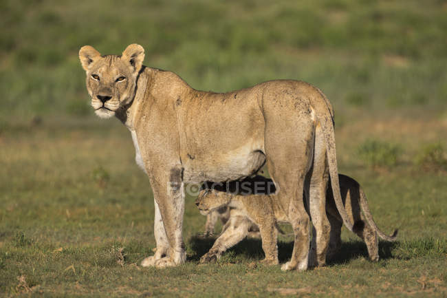 Lioness, Panthera leo with cub — Stock Photo