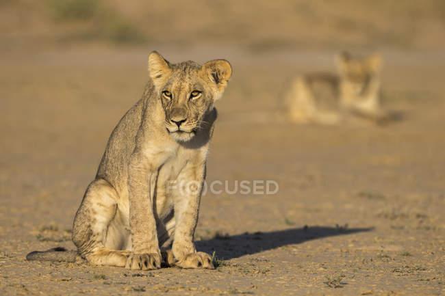 Молодий левів, Лев — стокове фото