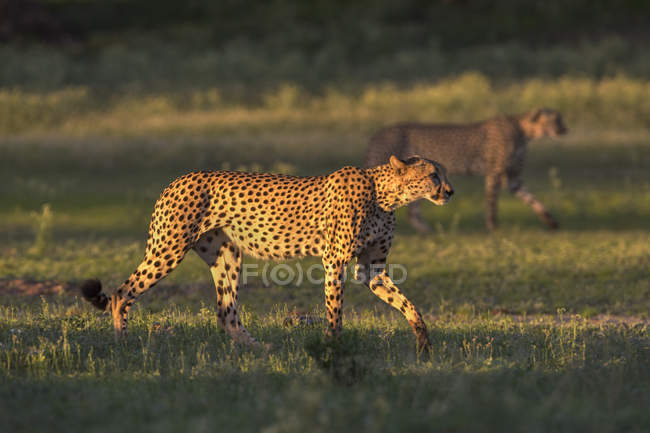 Гепард, acinonyx jubatus — стокове фото