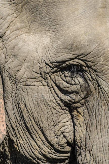 Éléphant indien, Elephas maximus indicus — Photo de stock