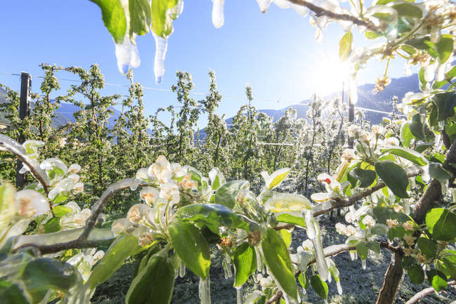 Apple orchards covered with ice — Stock Photo