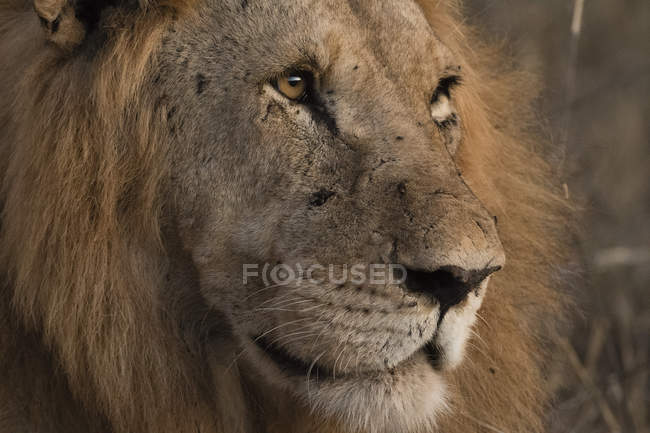 Lion, panthera leo — Photo de stock