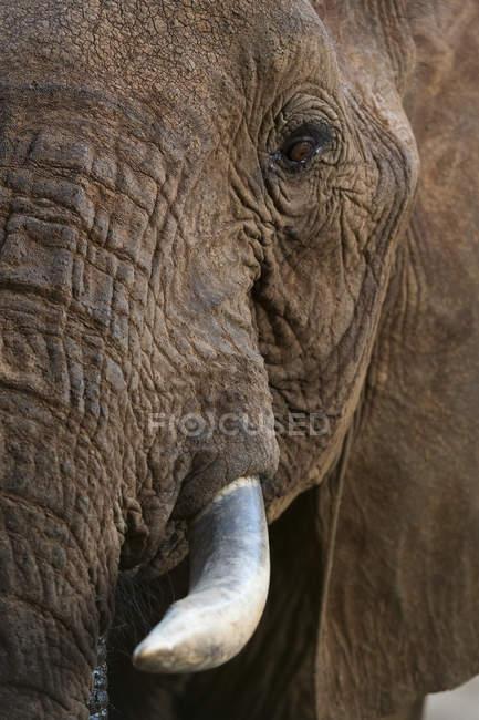 Éléphant d'Afrique, loxodonta africana — Photo de stock