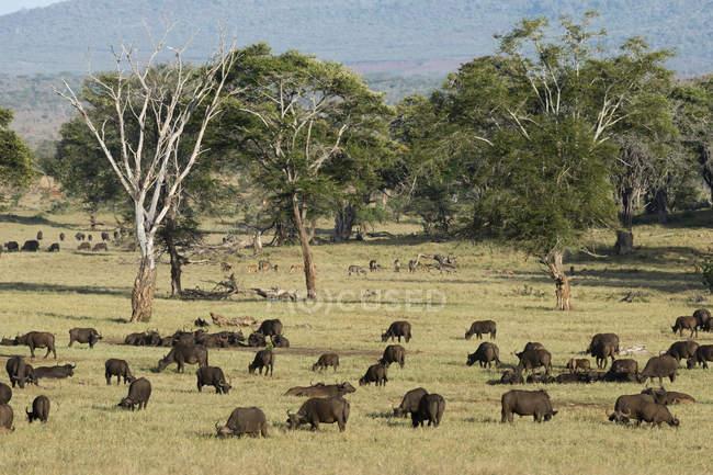 Troupeau de buffle d'Afrique — Photo de stock