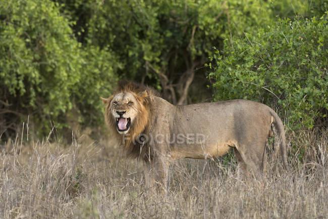 Männlicher Löwe Panthera leo — Stockfoto