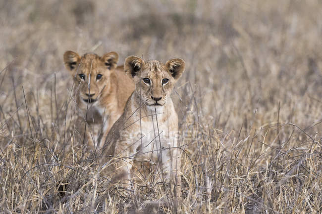 Two lion cubs, Panthera leo — Stock Photo