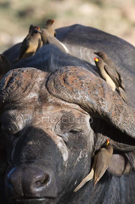Buffle d'Afrique, syncerus caffer — Photo de stock