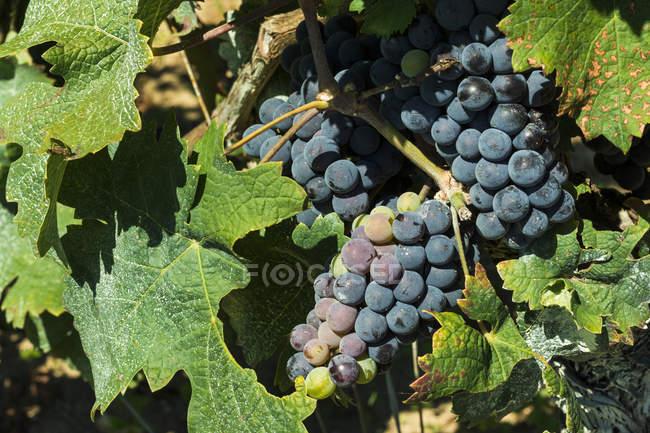 Grand Cru vines — Stock Photo