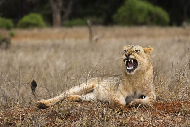 Lion, Panthera leo yawning — Stock Photo