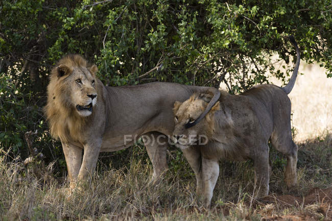 Two lions, Panthera leo patrolling — Stock Photo
