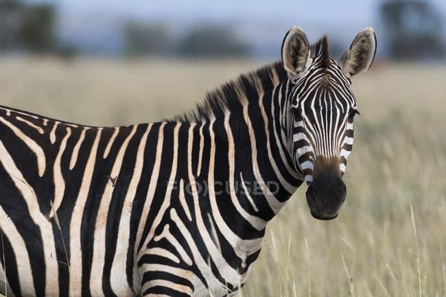 Common cebra, Equus quagga - foto de stock