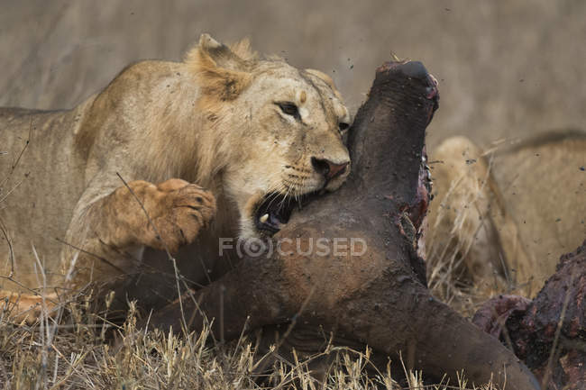Югу взрослого самца льва, Panthera leo — стоковое фото