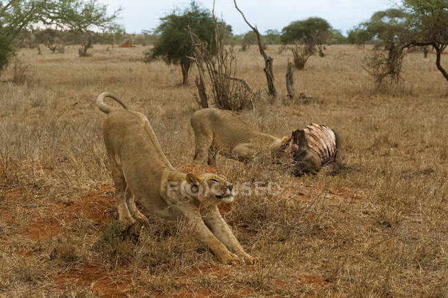 Two lions, Panthera leo — Stock Photo
