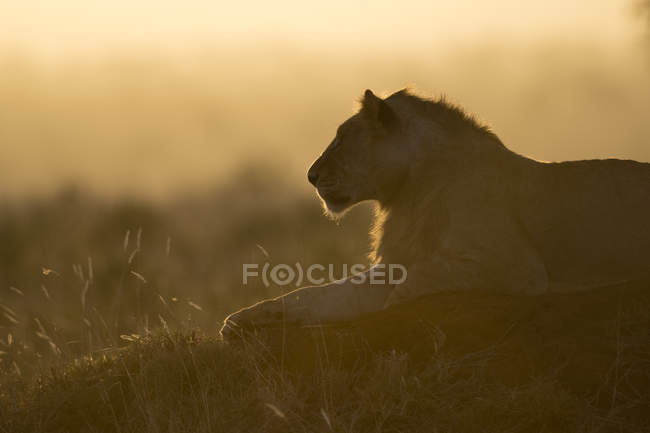 Lion, panthera leo — Photo de stock