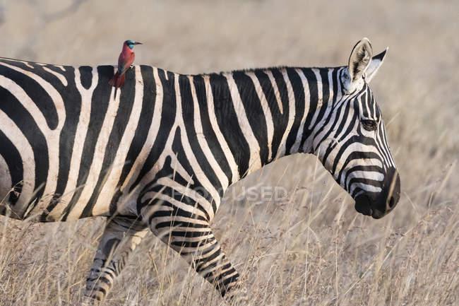 Загальні Зебра, кінь quagga — стокове фото