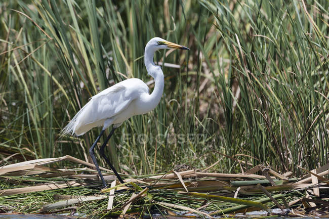 Grande egret, Egretta alba — Foto stock