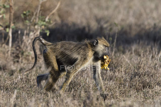 Yellow baboon, Papio hamadryas cynocephalus — Stock Photo