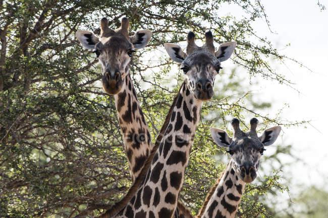 Trois girafes Massaï — Photo de stock